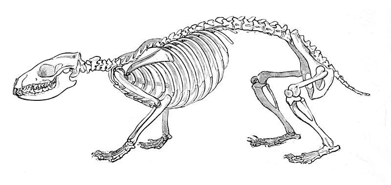 hedgehog skeleton at madelinedyer com