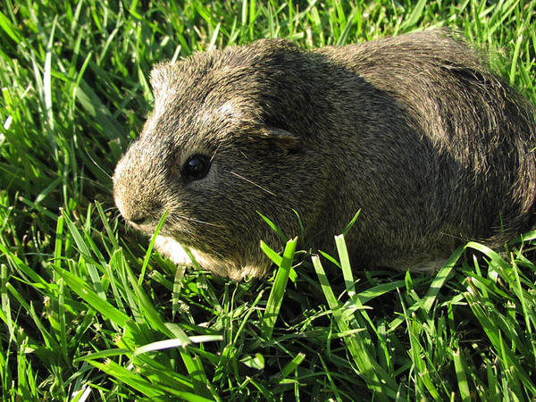 Silver Agouti Guinea Pig