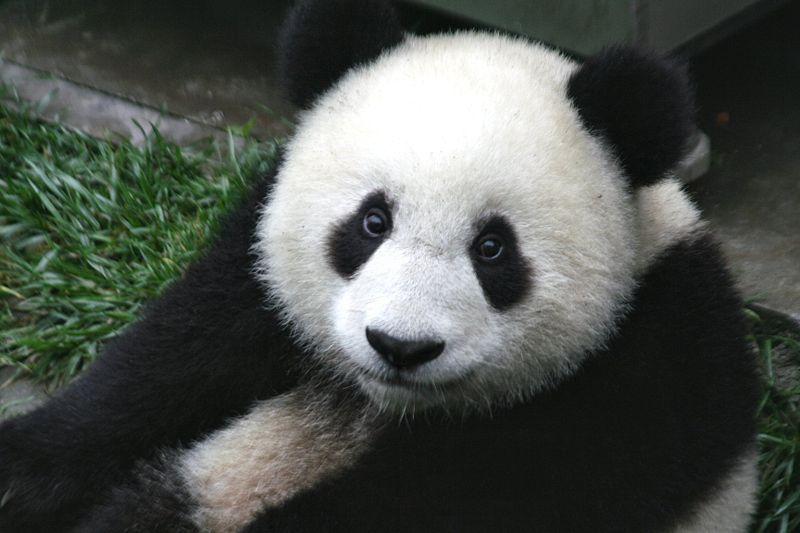 Giant Panda Bear at MadelineDyer.com