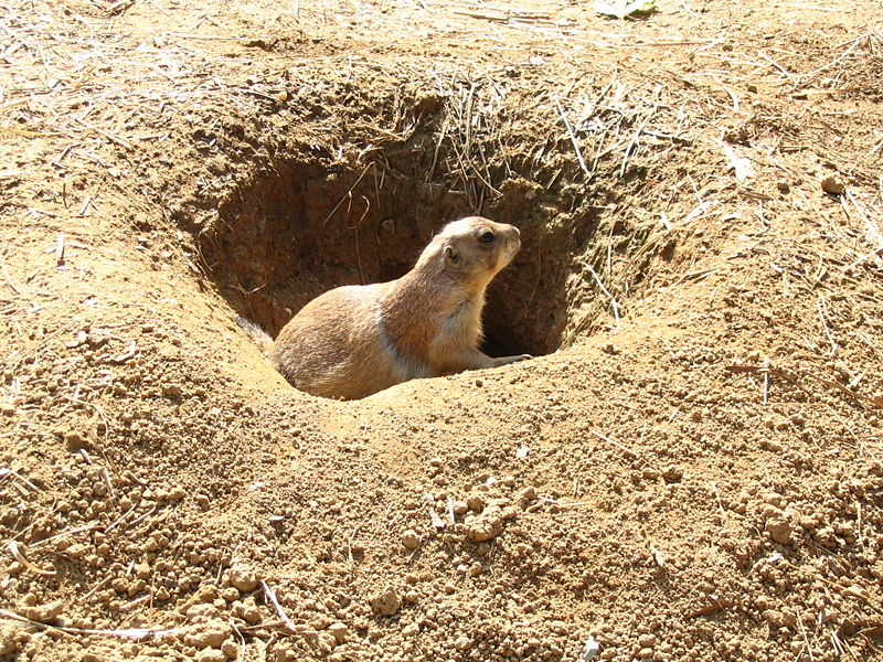 Black Tailed Prairie Dog Diseases