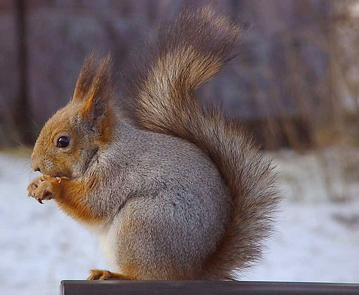 This Picture Shows The Red Squirrel With Its Grey Winter Coat
