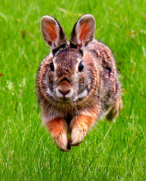 Pictures Of Rabbits In The Wild. Cottontail Wild Rabbits